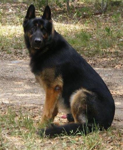 Premise Indicator Words: Ayers Legends German Shepherds