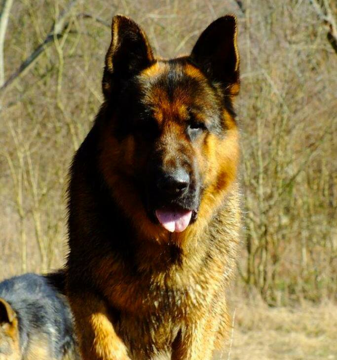 Big Dave Ayers Legends German Shepherds