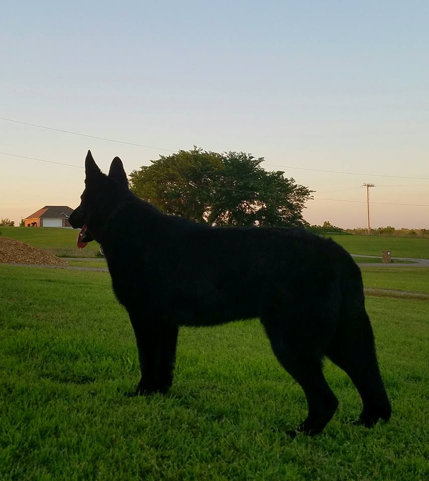 Legiance Black German Sheperd 10 Months old