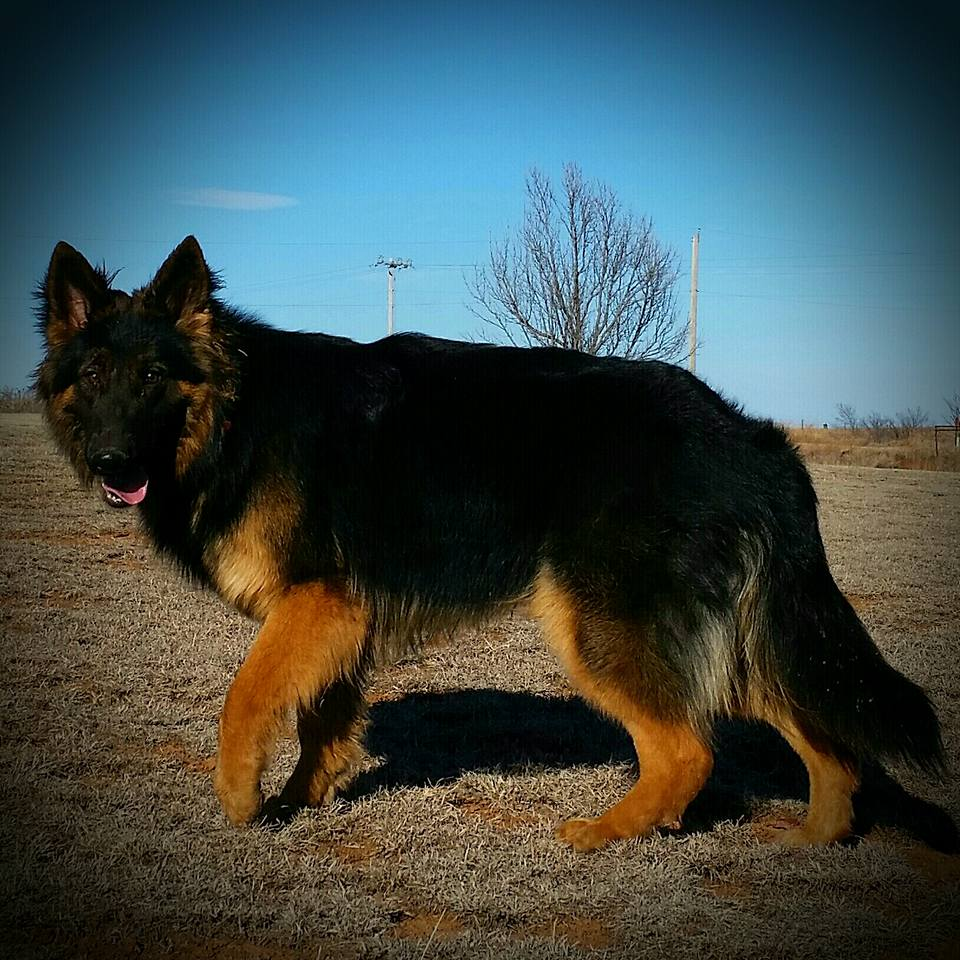 Babe 11 months black and red german shepherd female