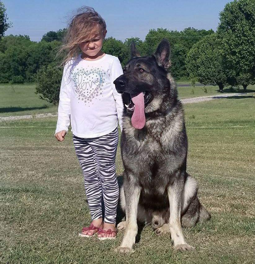 Huge German Shepherd